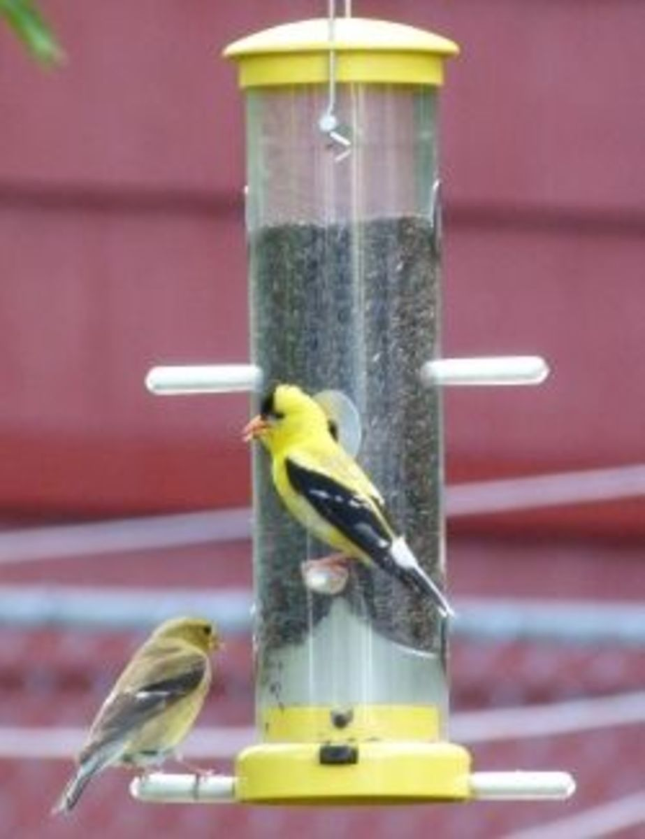 American Goldfinches at feeder