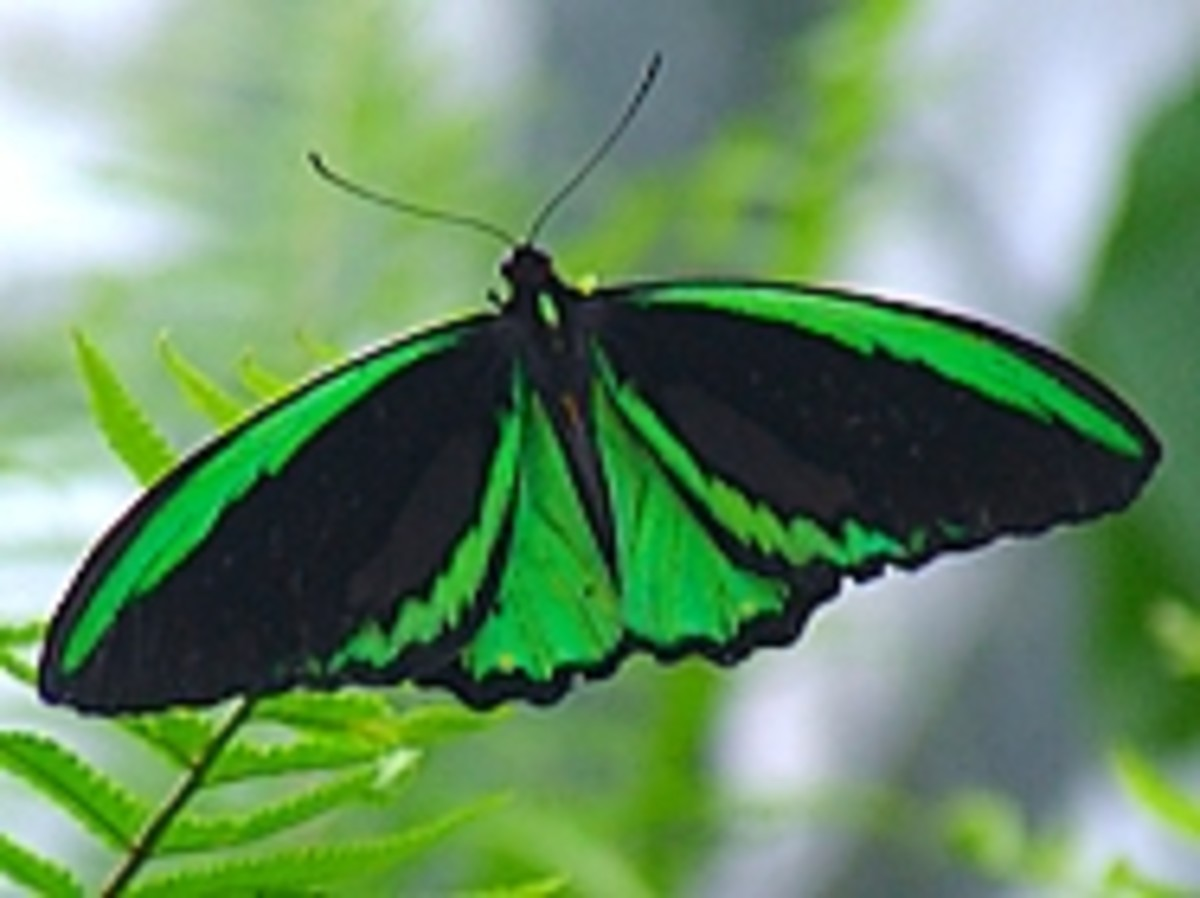 Australian Butterfly Houses, Farms and Sanctuaries and Wild Butterfly Tours