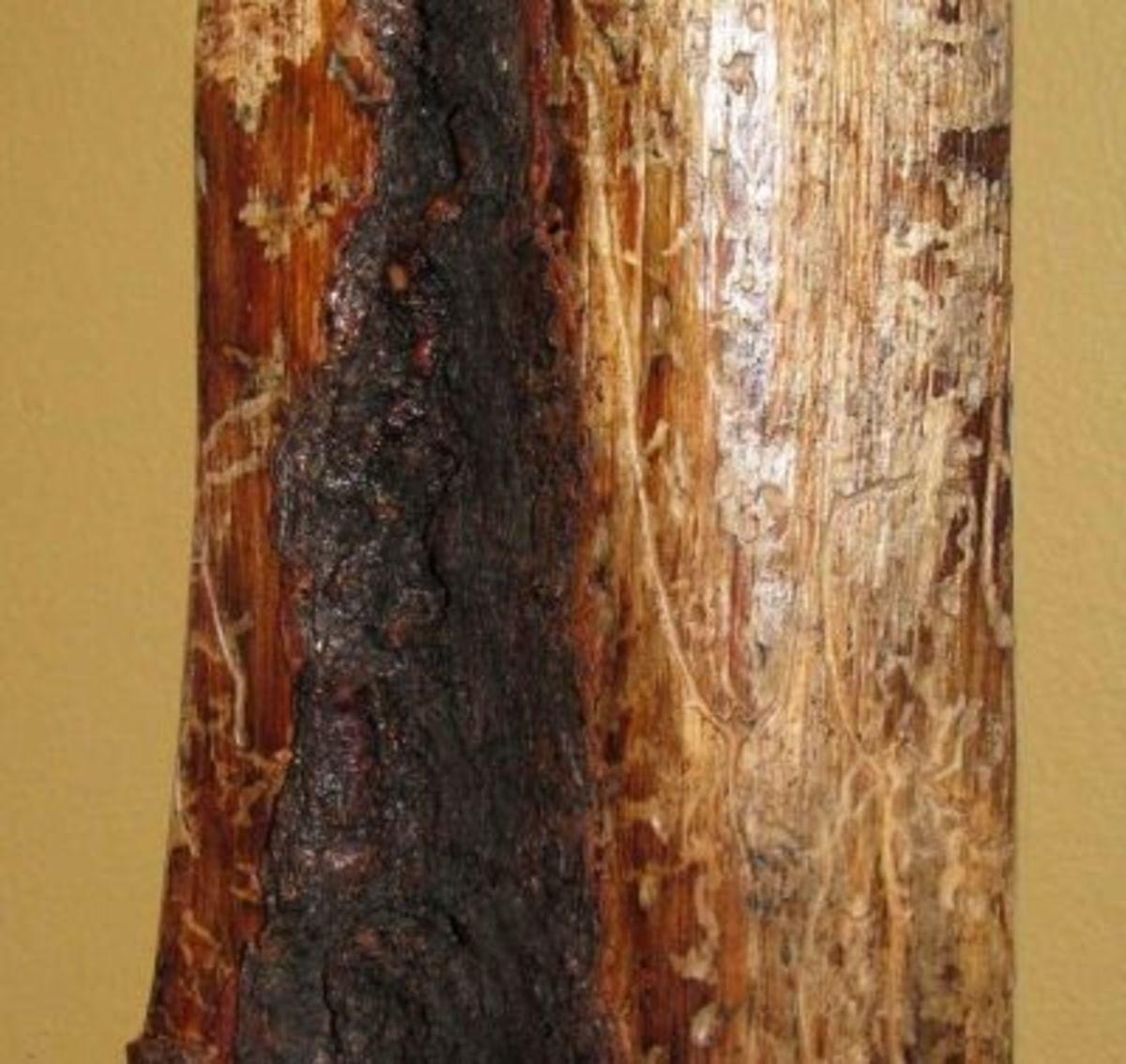 Mountain Pine Beetle
