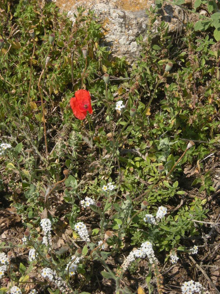 poppies and heliotrope at the ancient Corinth