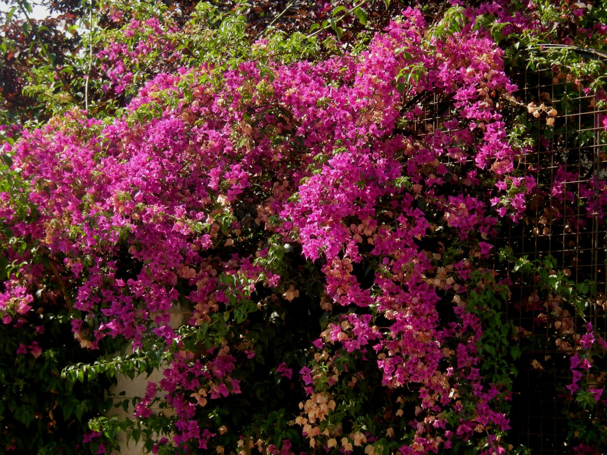 bougainvillea under the sun of midday