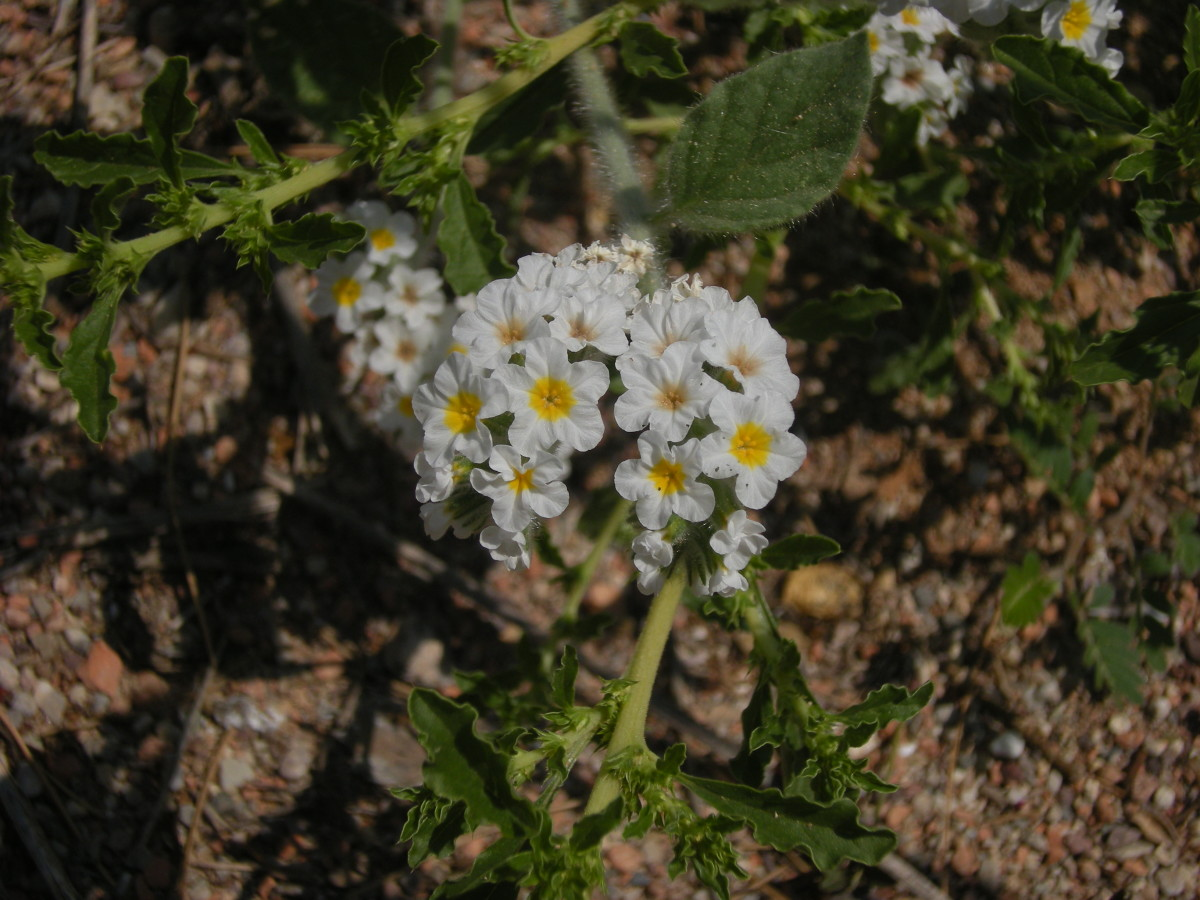 the white heliotrope, which smells like vanilla...