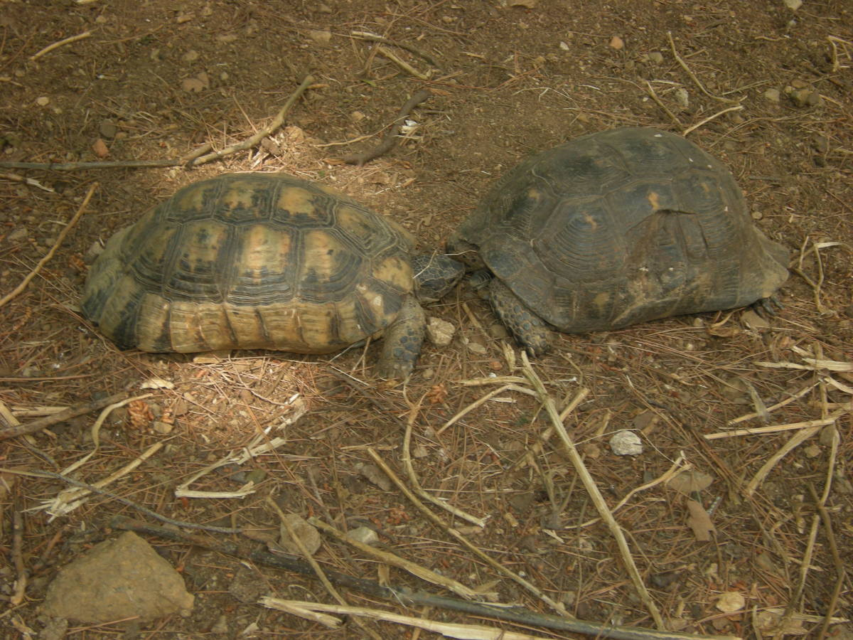 two turtles on the hill of Lycabettus