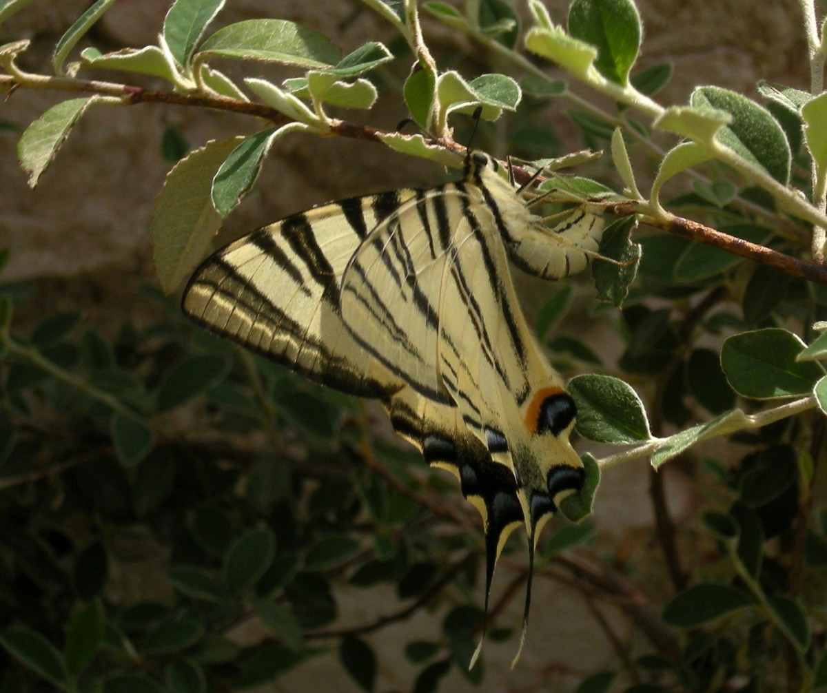 papilio alexanor...on the slopes of the Acropolis!