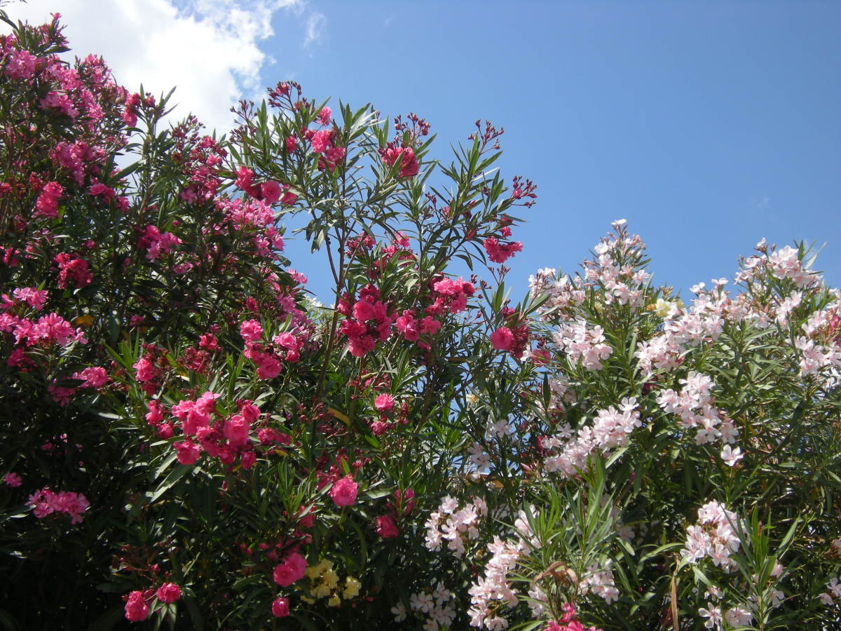 white and pink oleanders