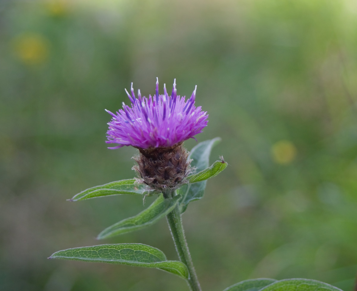 This close up of the knapweed flower is courtesy of Maedin Tureaud