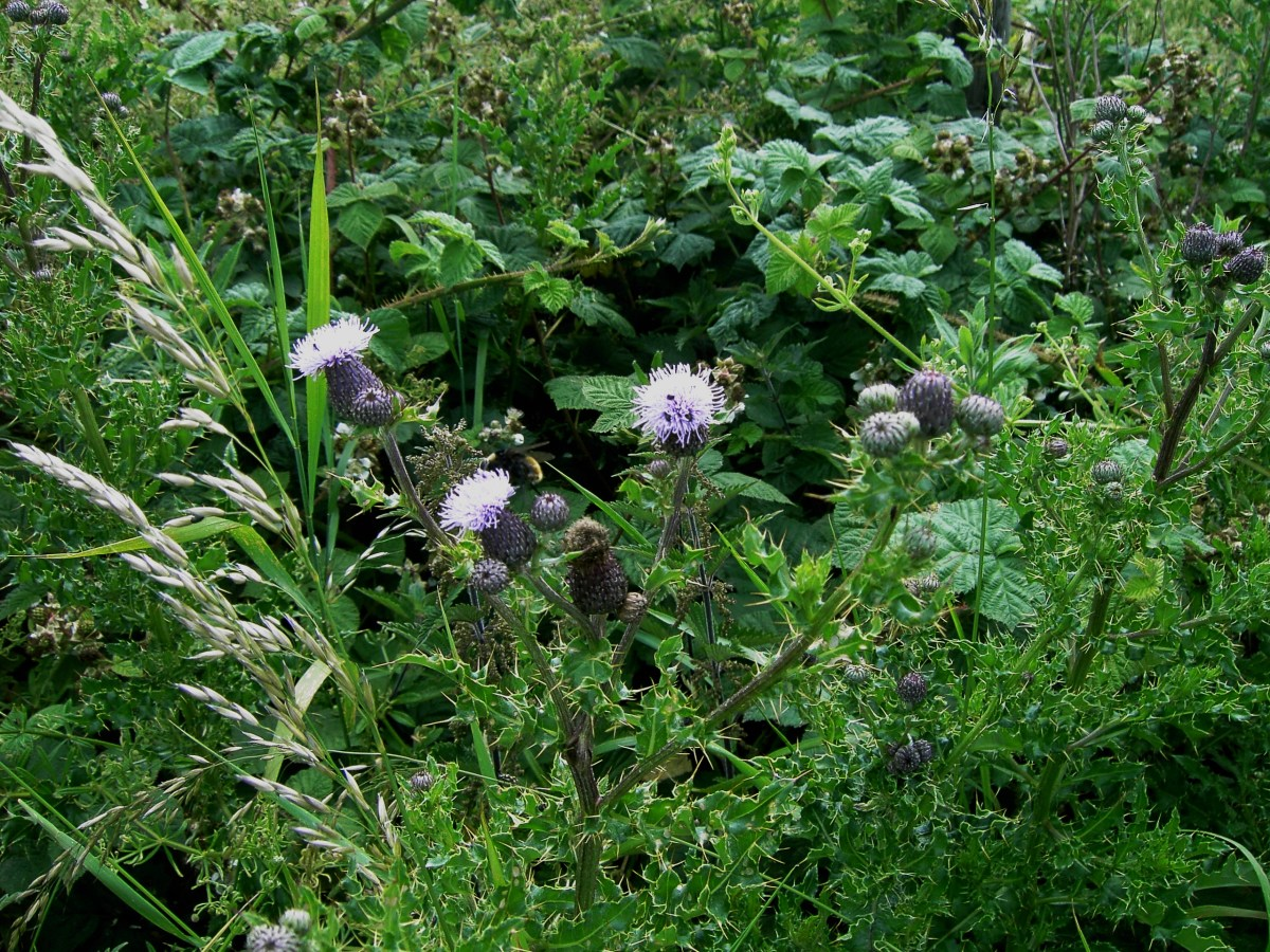 the creeping thistle makes an impenetrable barrier. Photograph by D.A.L.