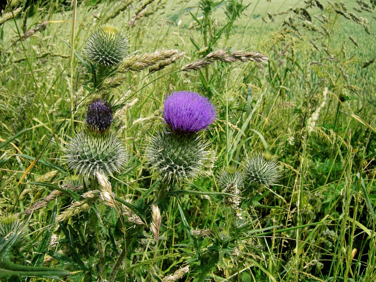The distinctive flower heads of the spear thistle. Photograph by D.A.L.