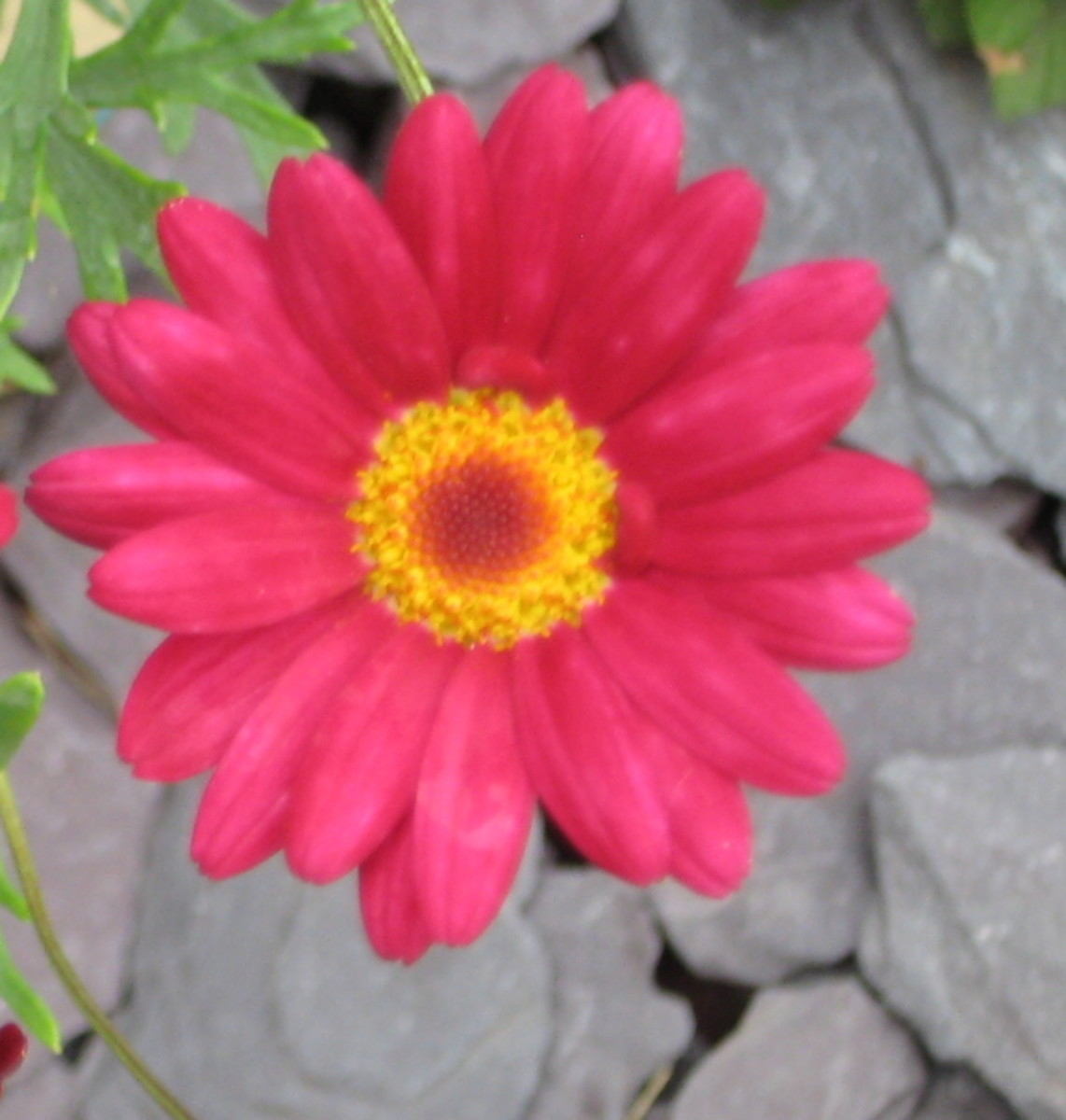 photo:bright pink marguerite