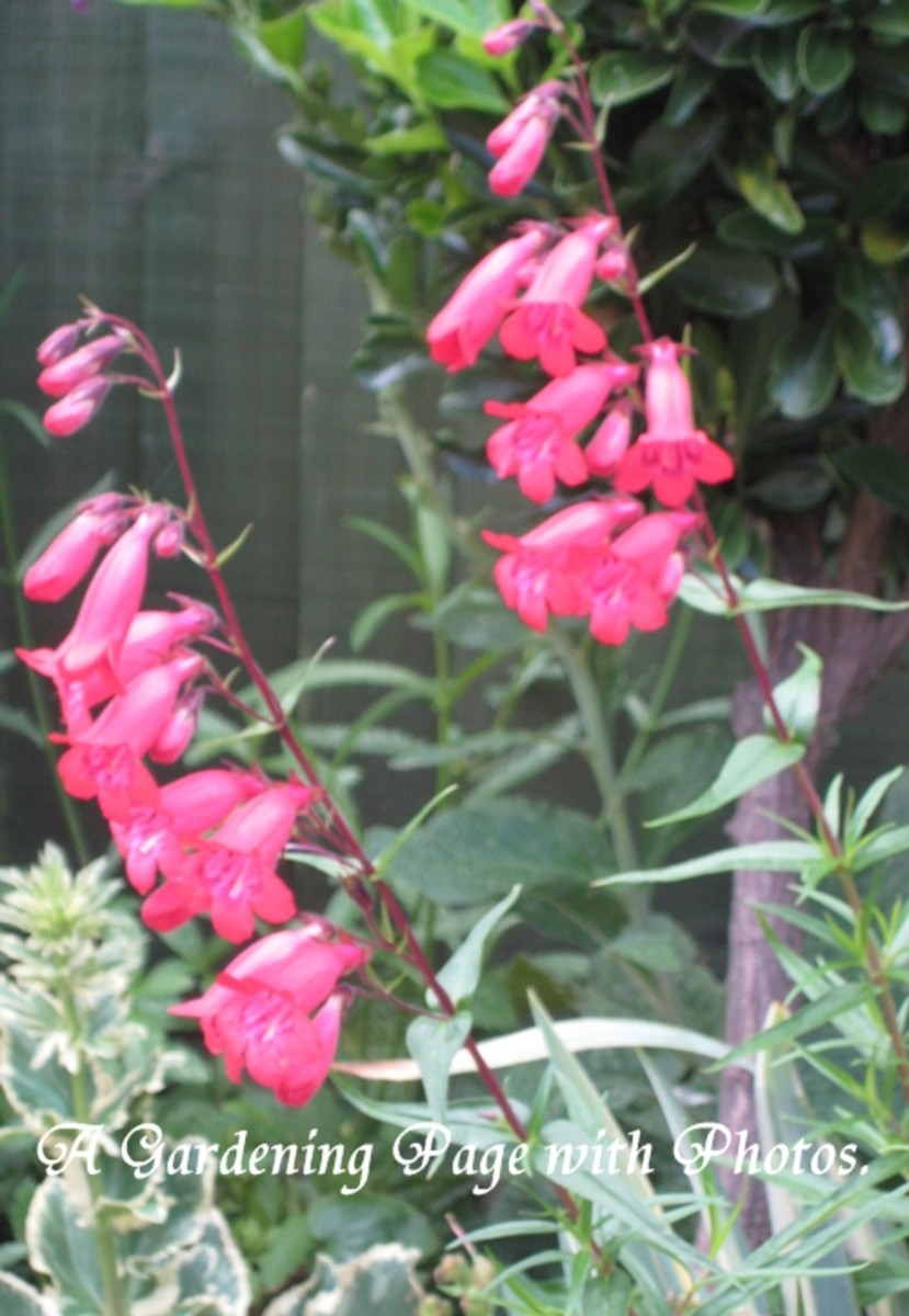 Photo of penstemon flowers in bloom.
