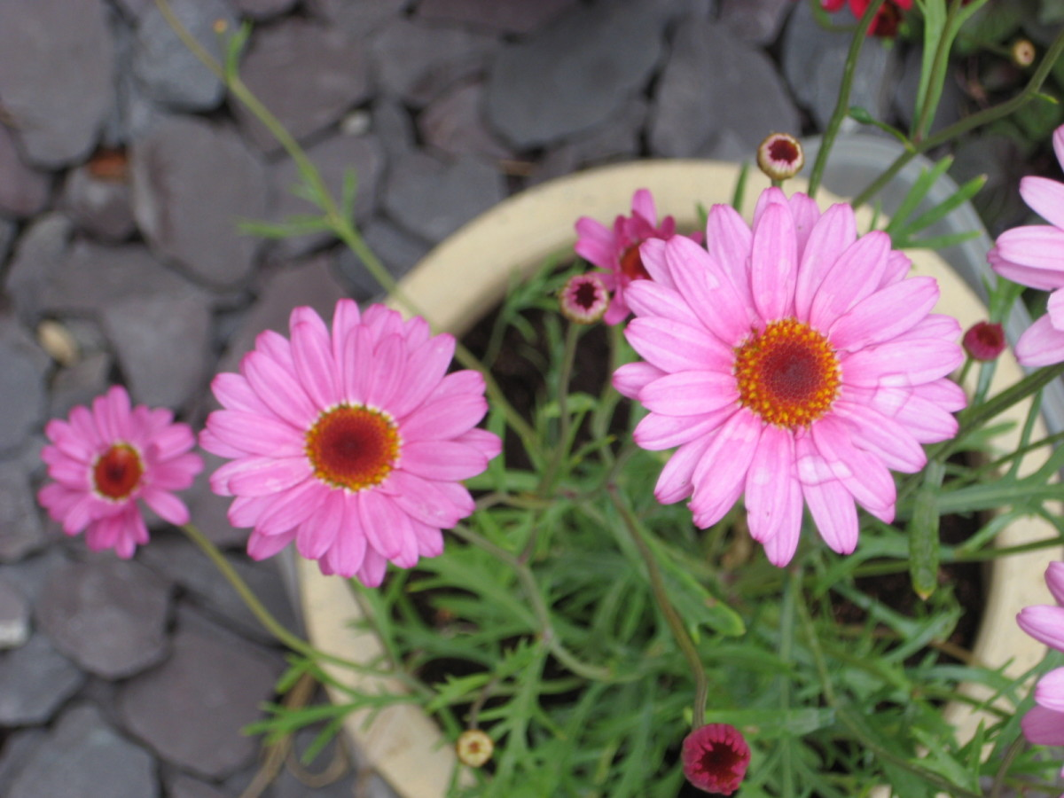photo:pink marguerite flowers.