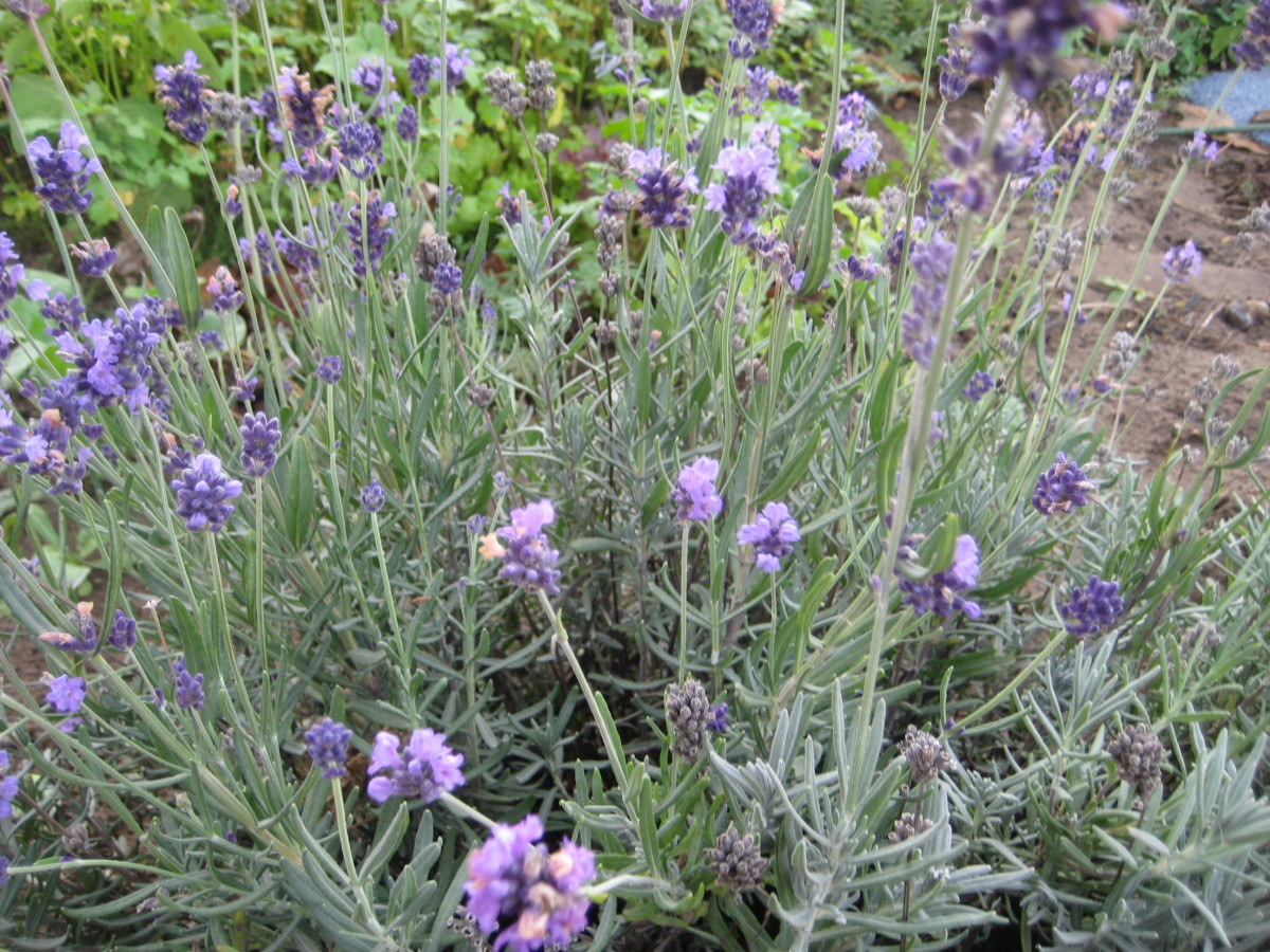 Photo: Lavender plant in flower