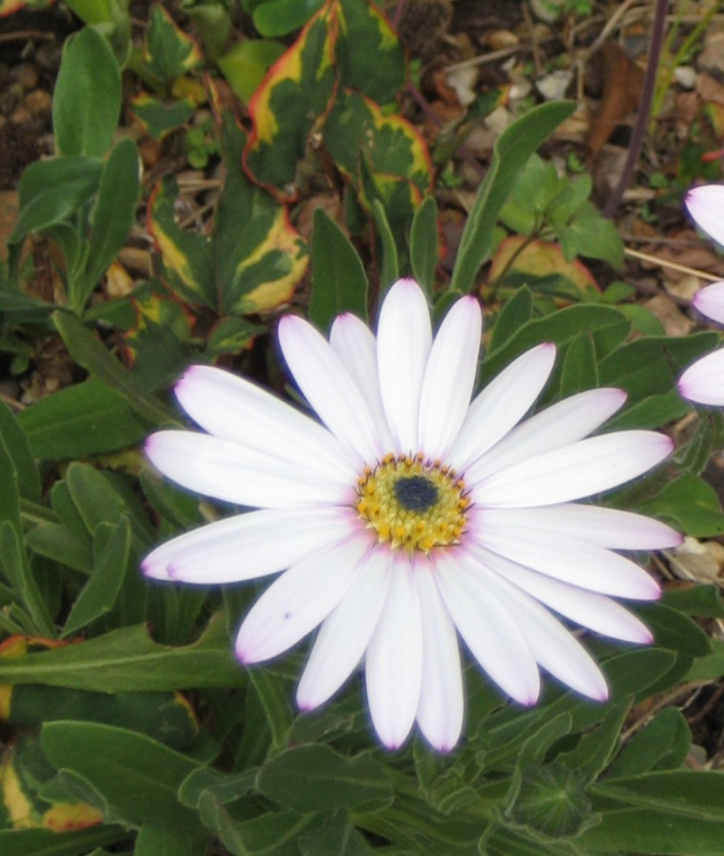 Photo: Osteospermum flower also called cape daisy.