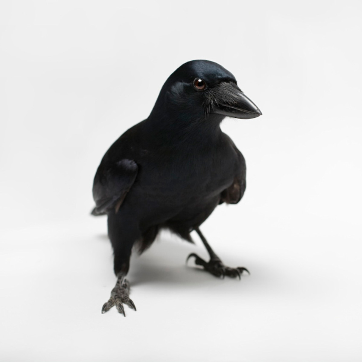 New Caledonian Crow - Worlds Most Intelligent Bird after the Parrot.New Caledonian Crow has the ability to manufacture and use new tools such as knives cut from stiff leaves and stiff stalks of grass