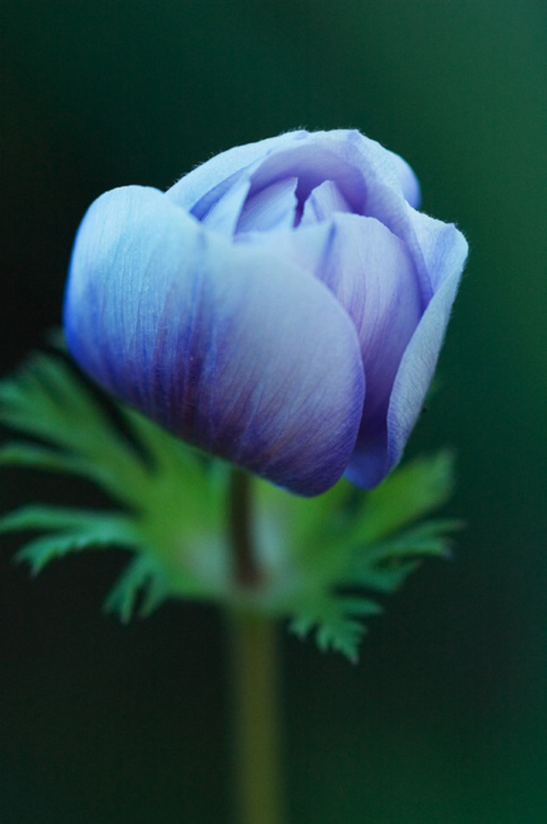 Anemone the beautiful wind flower tips and legends - Anemone species caring color refinement ...