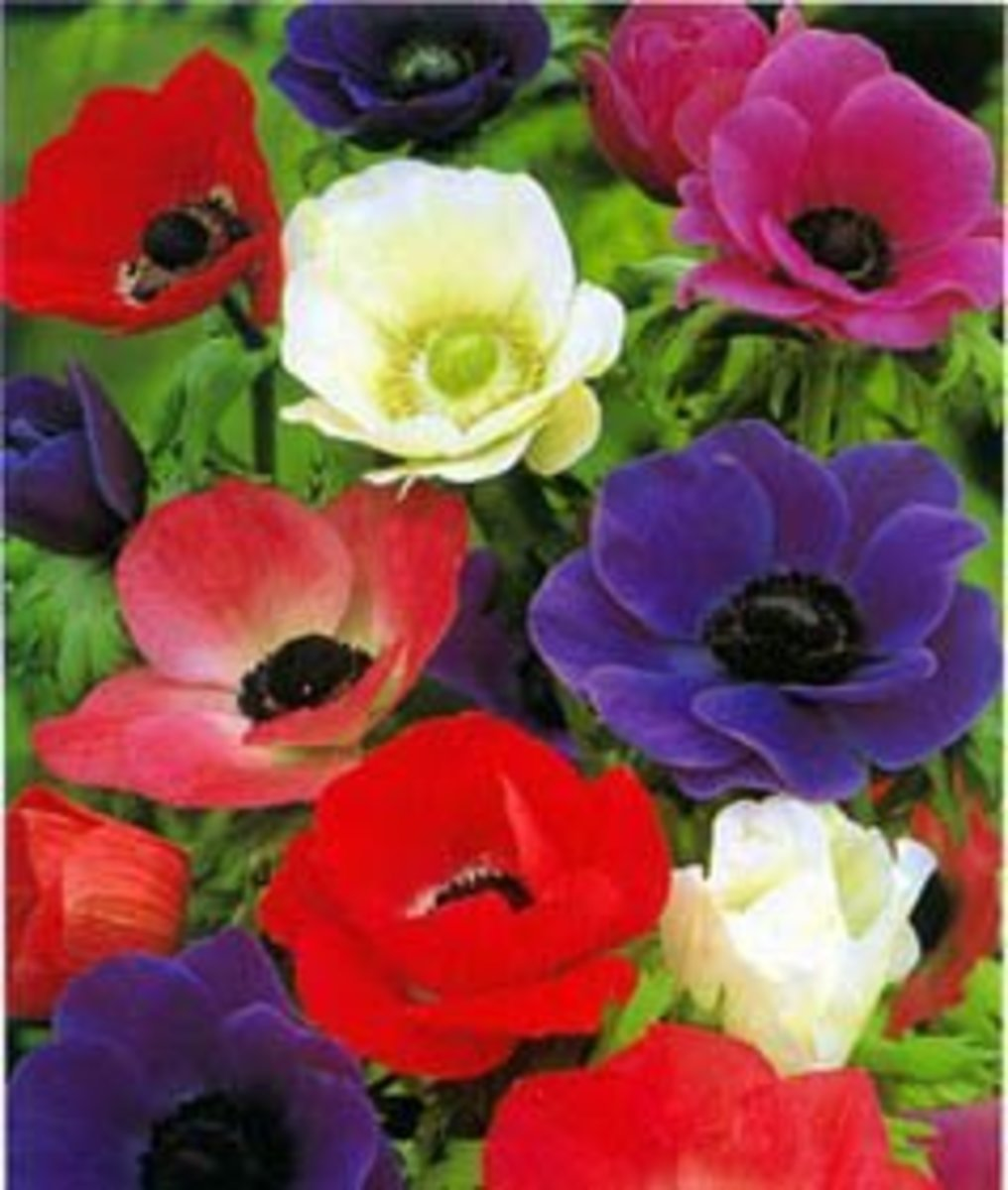 Anemone, the beautiful wind-flower: tips and legends