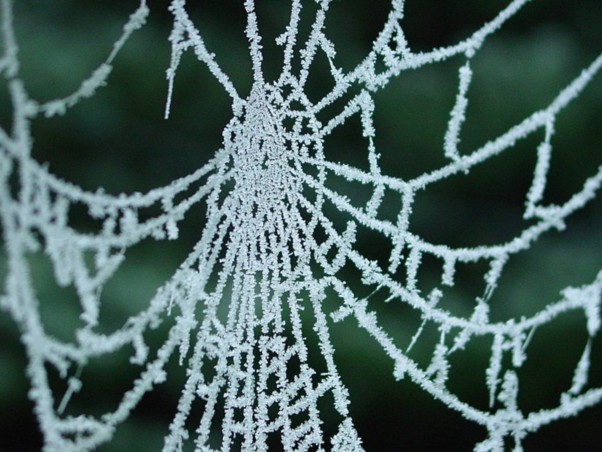 Spider web covered in frost.