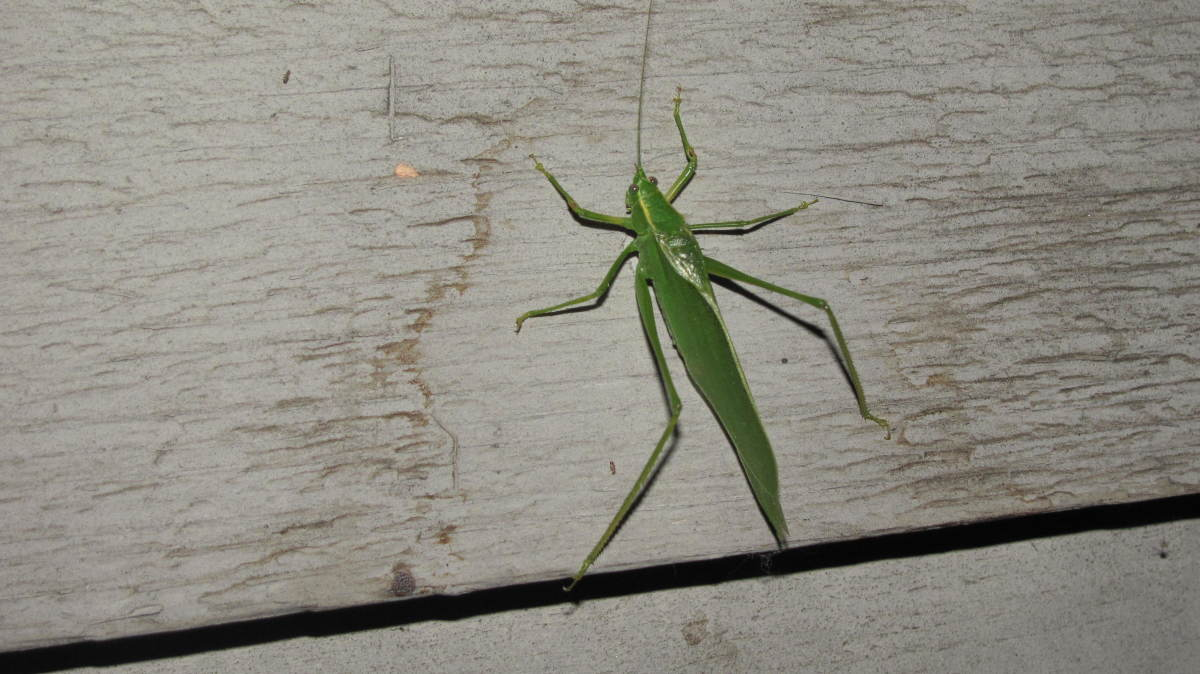 Katydid on my House