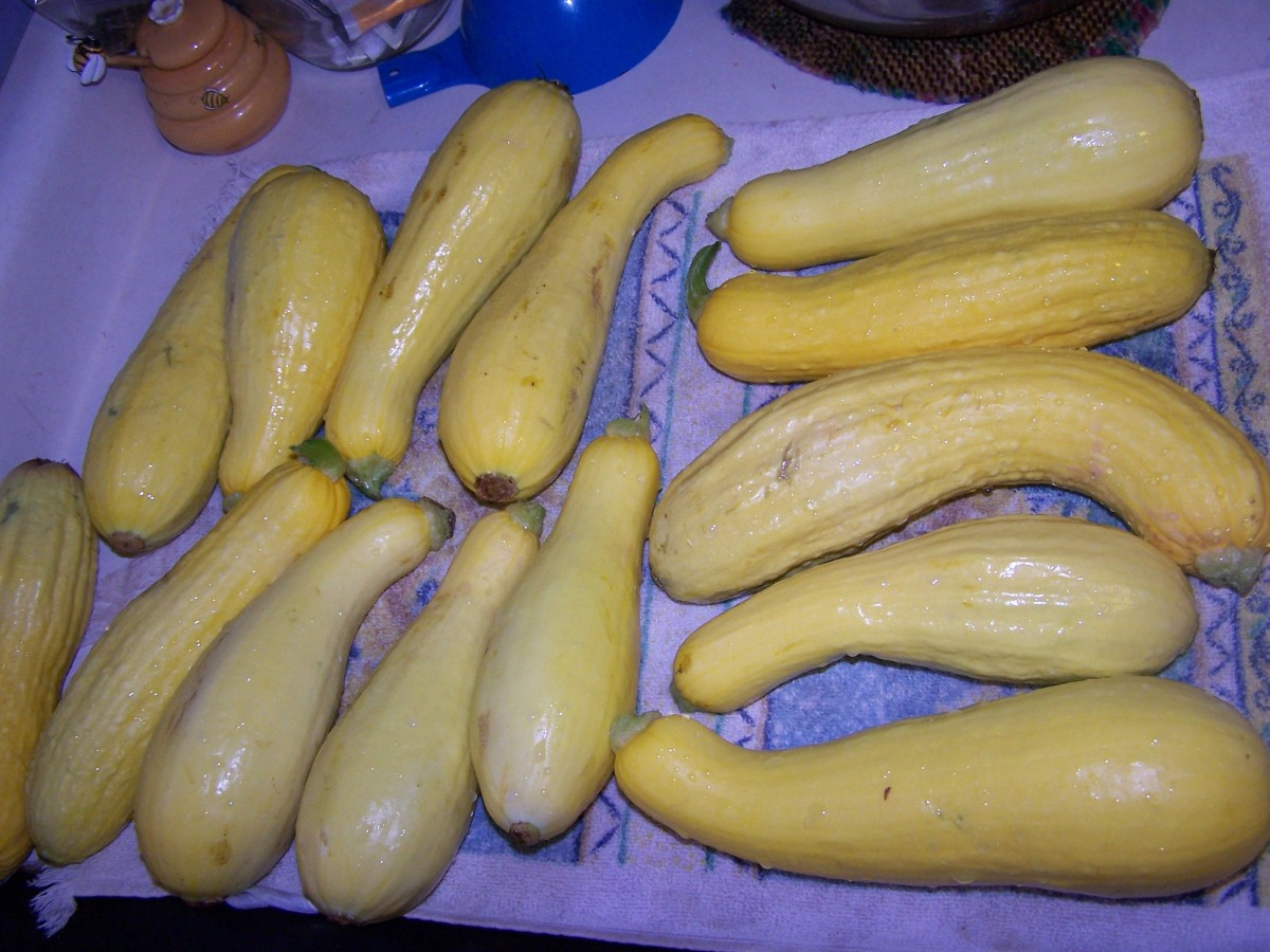 "Yellow summer squash, 6-8"" long."