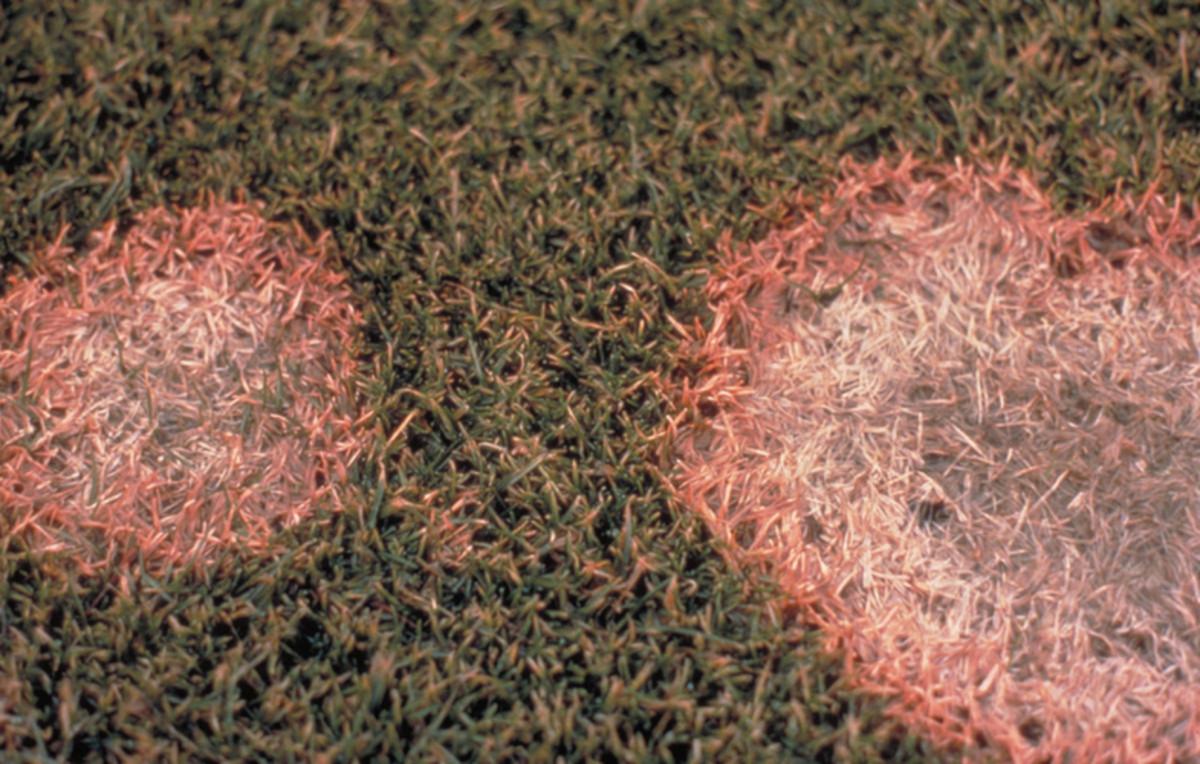 Pink Snow Fungus