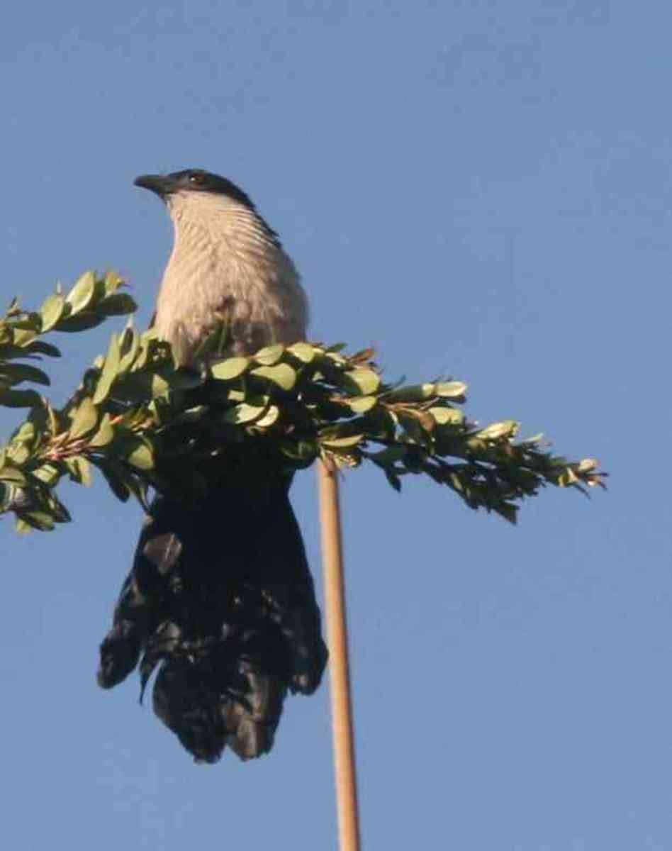 The Burchell's Coucal outside our bedroom window. Photo by Catherine McGregor