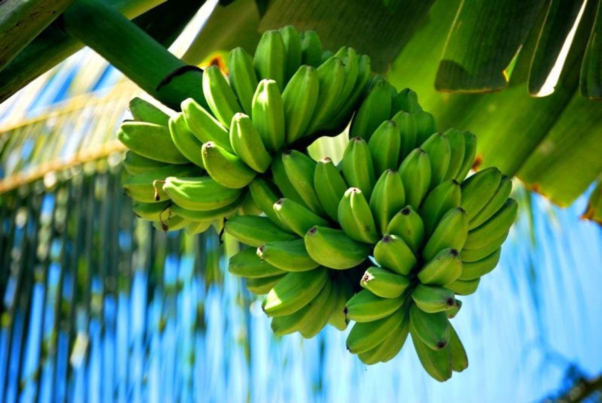 Saba cooking bananas on farm
