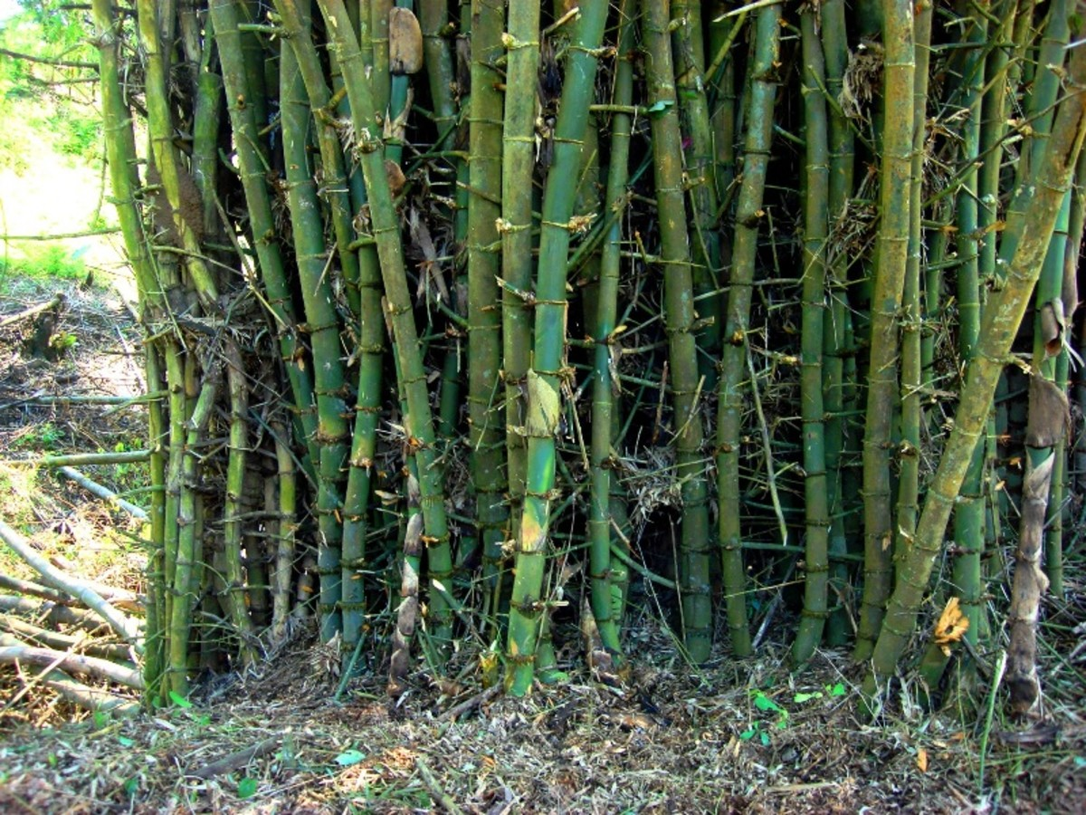 Our own bamboo grove where we harvested the wood for our pump house.