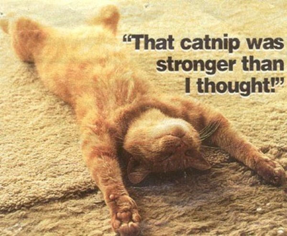 catnip-plant