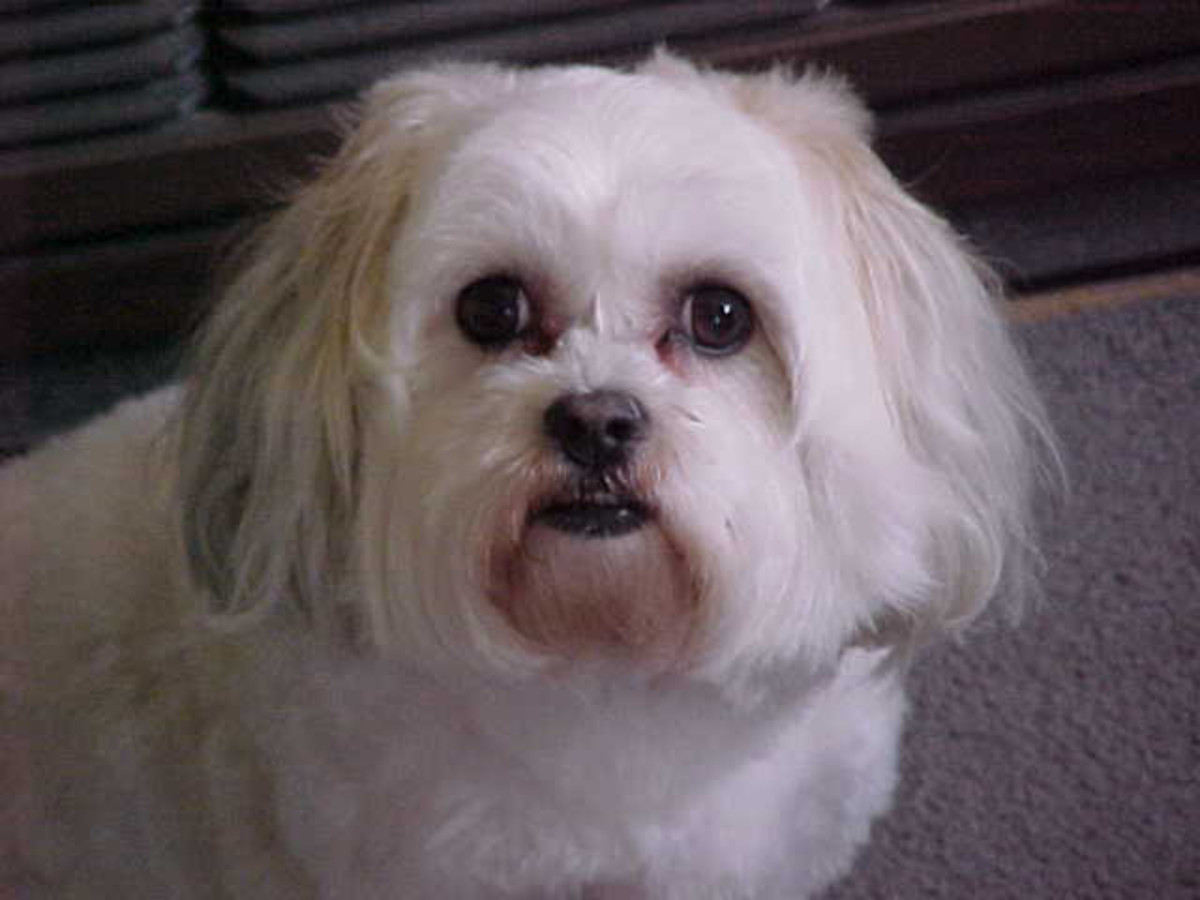 Primrose my beautiful maltese shih tzu bichon frise puppy dog