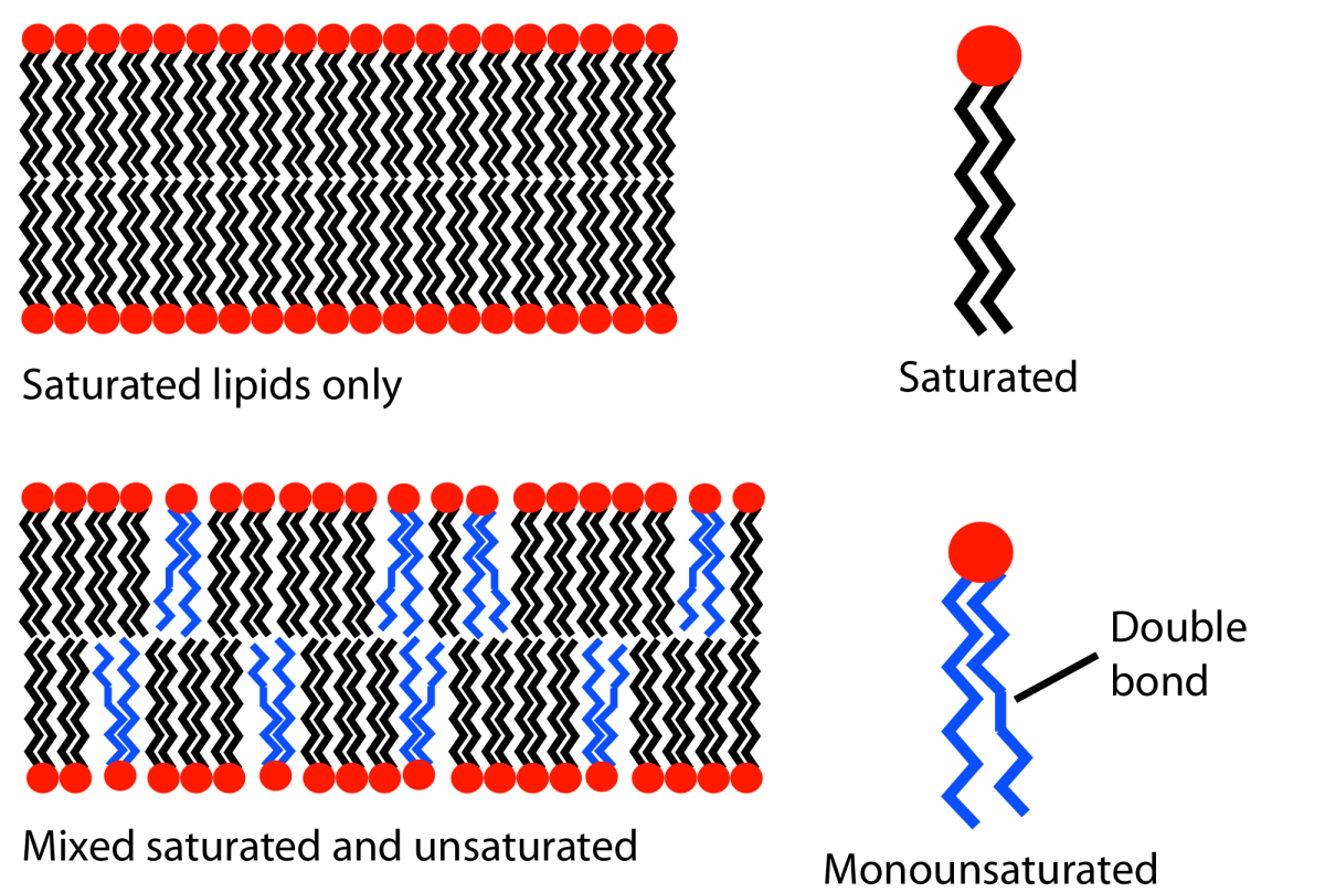 Lipids can be saturated or unsaturated. When there are double bonds (unsaturated) in the tail of the lipids, kinks form. This makes a cell membrane more open and fluid - important in low temperatures.