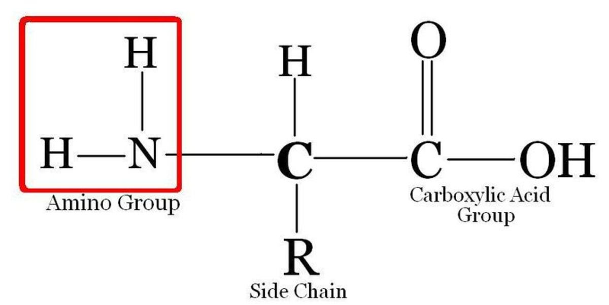An Amino Acid, the building blocks of proteins. The amine group, for which the molecule is named, is circled.