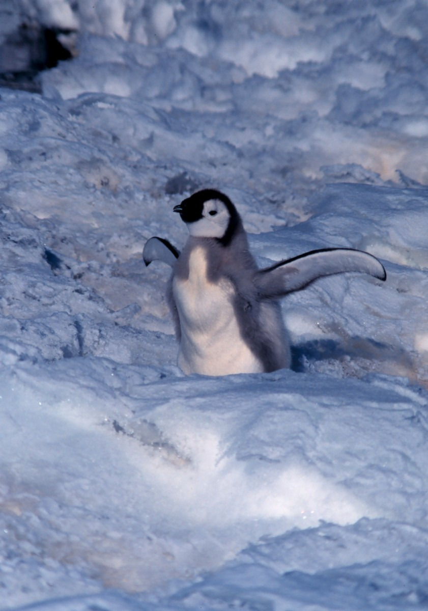 The emperor penguin is currently the largest living penguin today.
