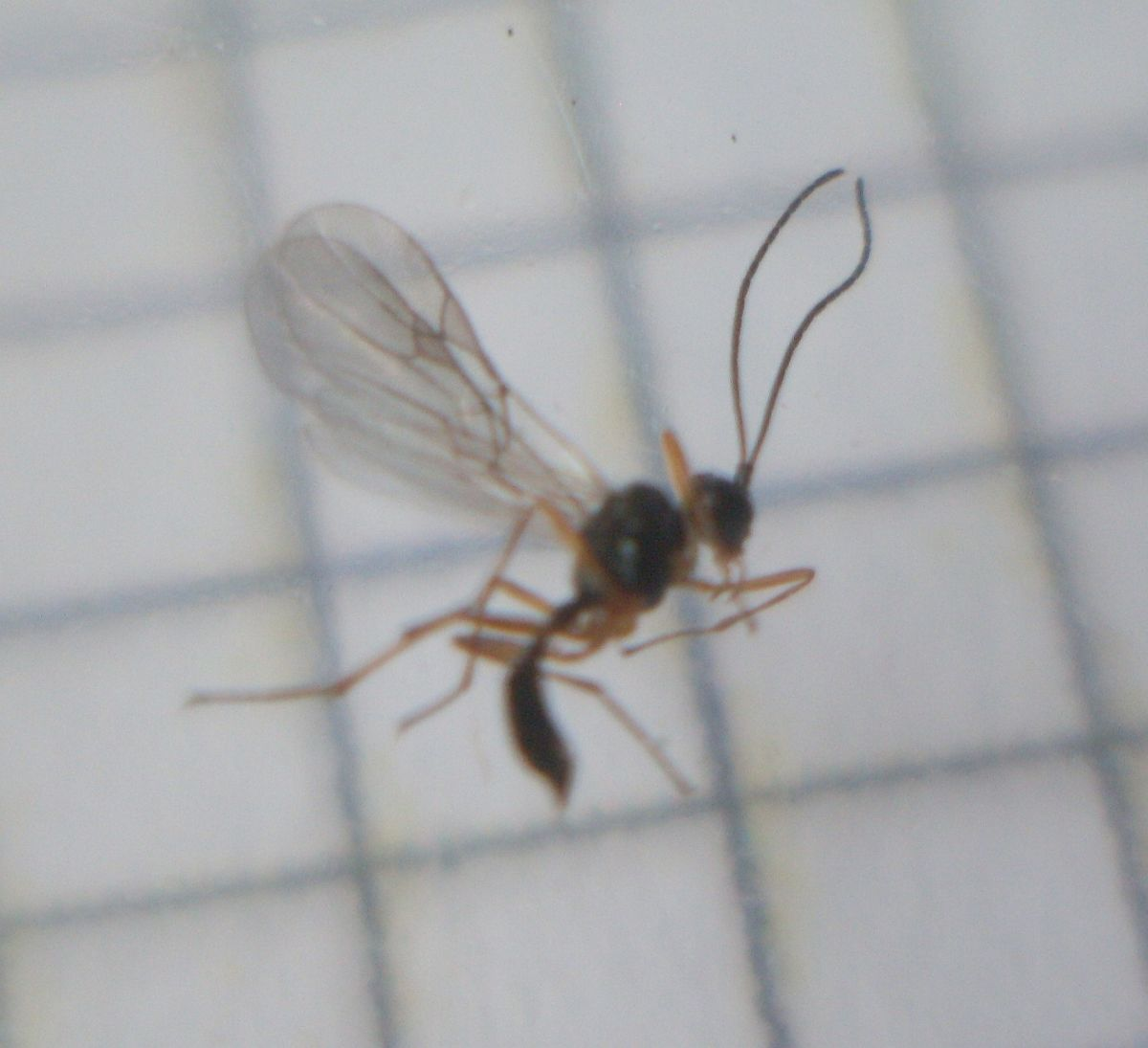 Parasitic wasp on 2mm graph paper