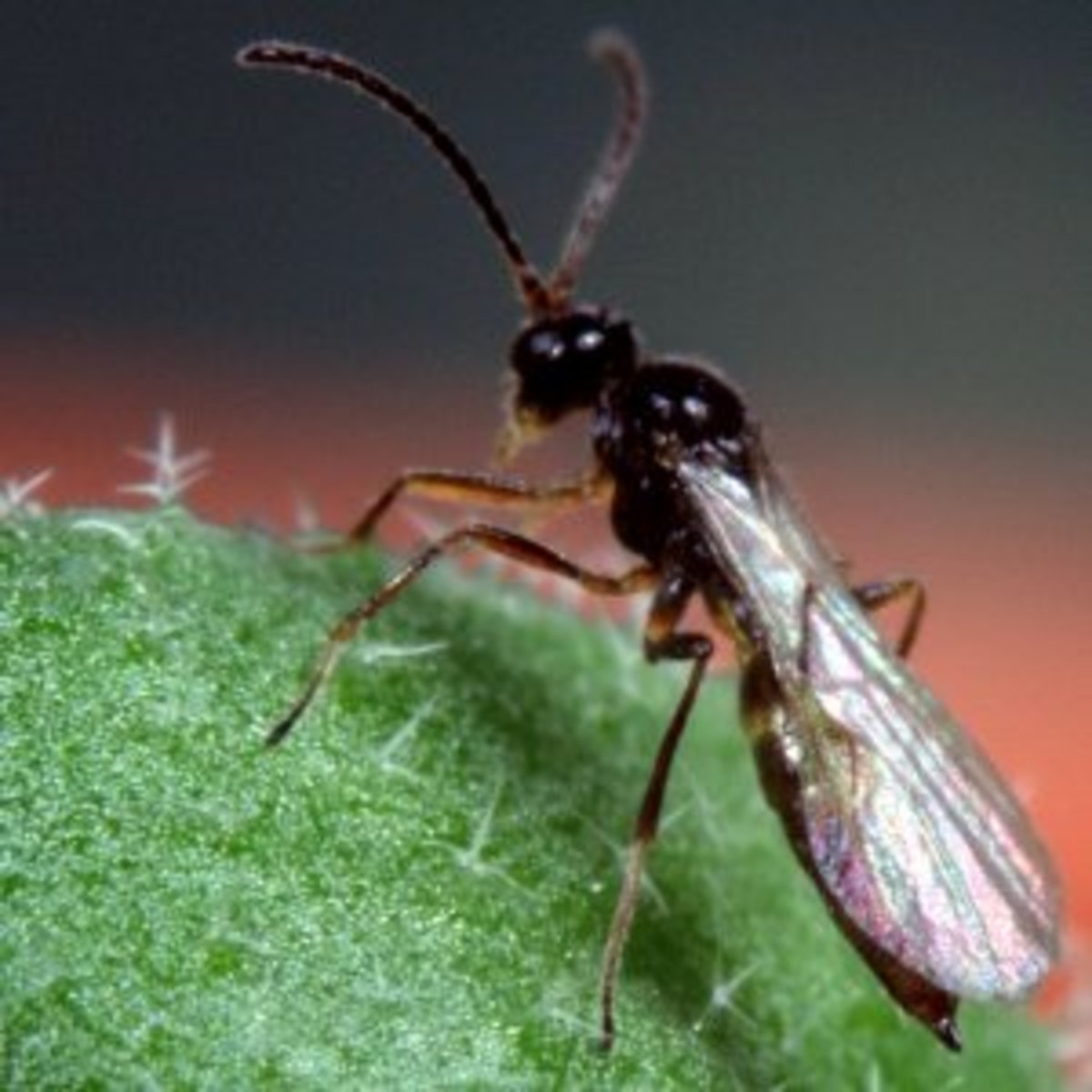 Use of the Parasitic Wasp for Greenhouse Aphid Control
