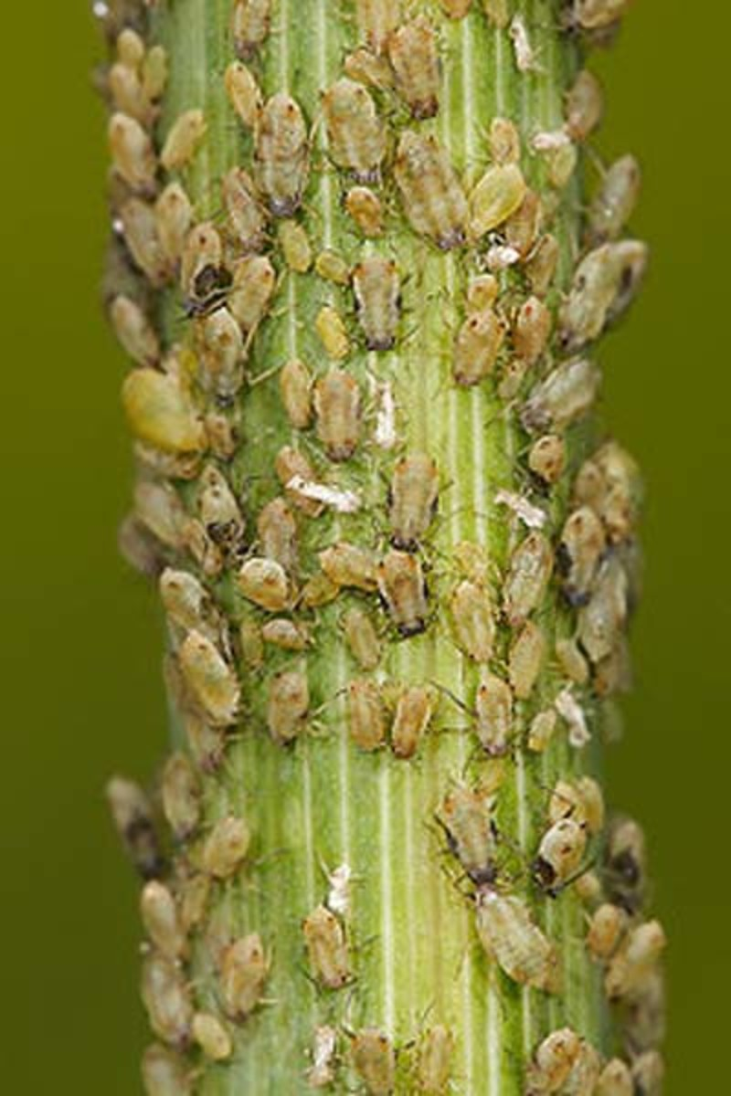aphid attack