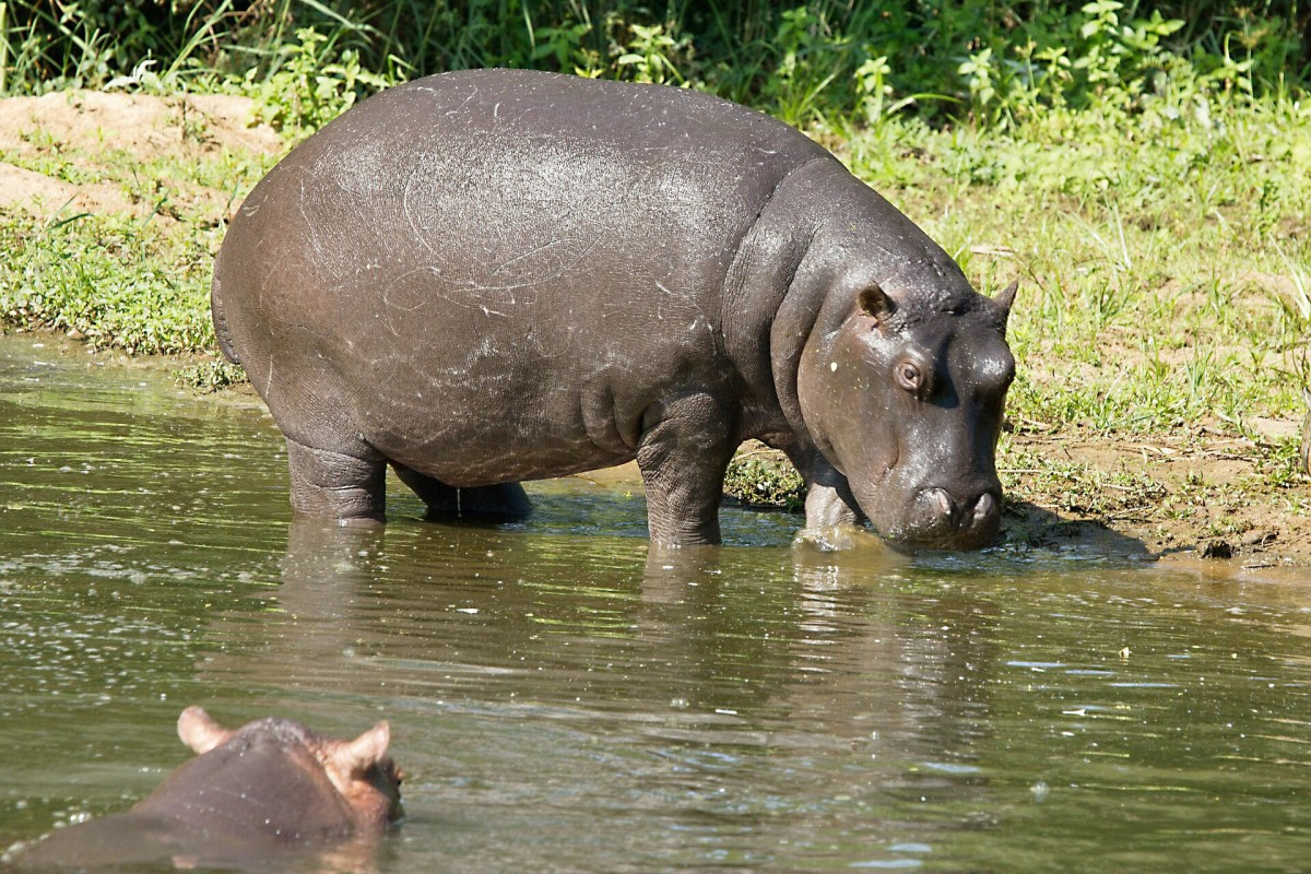 A river hippopotamus and a companion