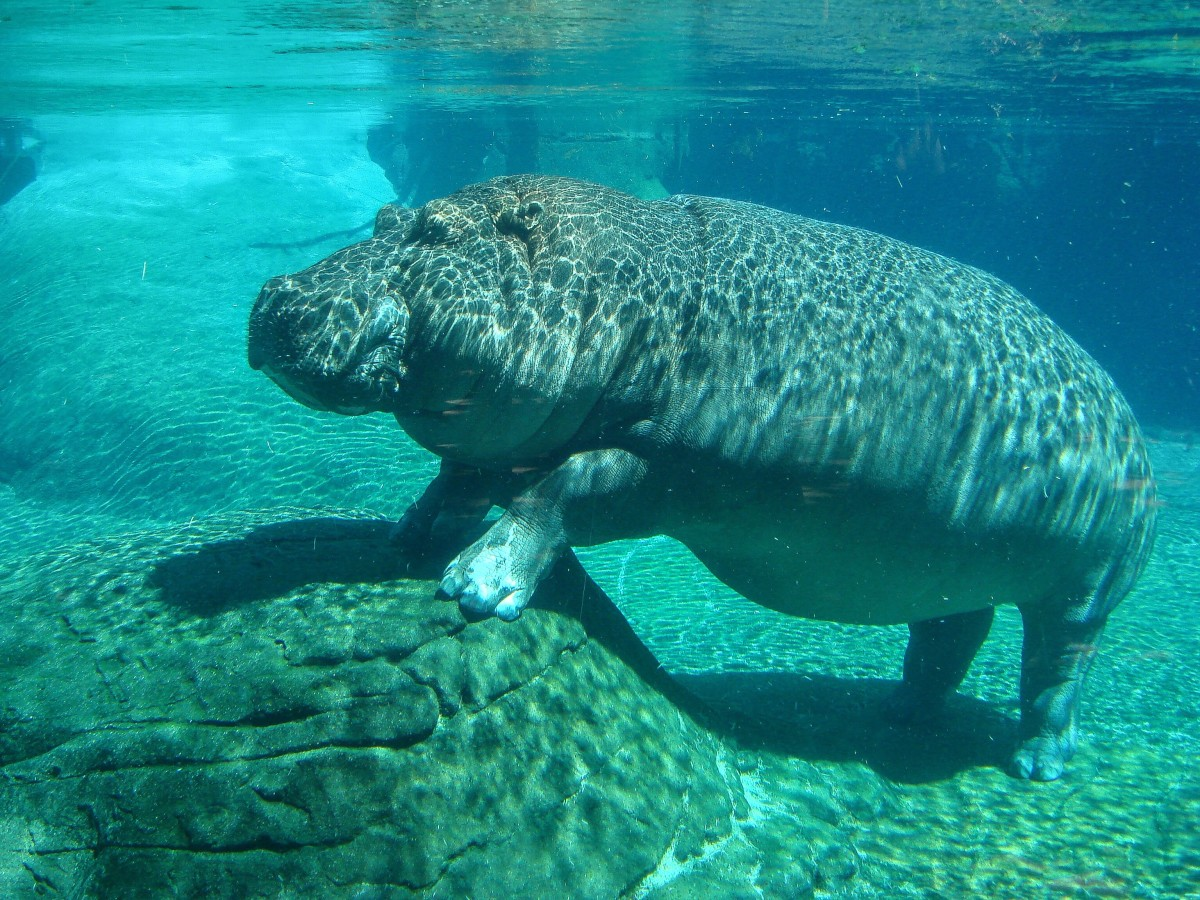 An underwater hippopotamus at the San Diego Zoo
