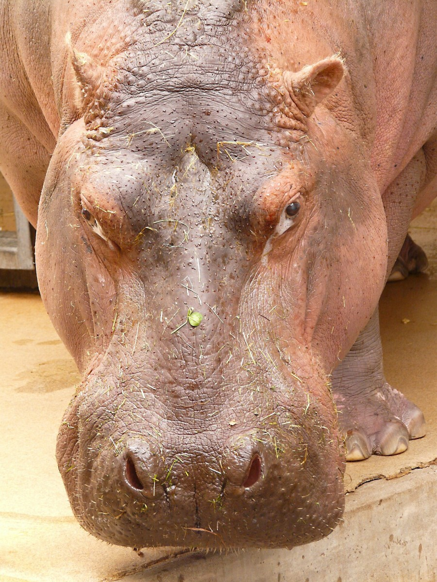 The face of a river hippopotamus