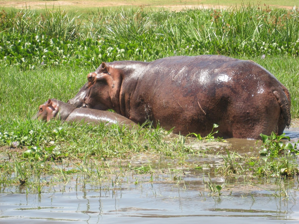 A mother river hippopotamus and her calf
