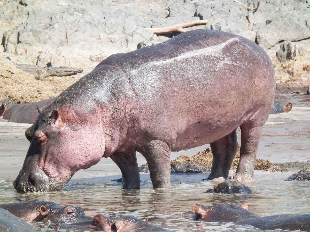 A female common or river hippopotamus and her calves in Tanzania