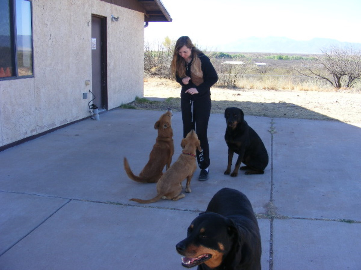 Dogs being trained at my boarding and training business.