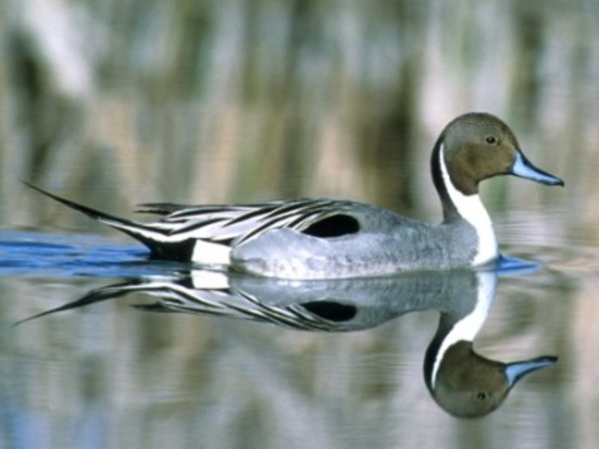 A wild pintail duck.