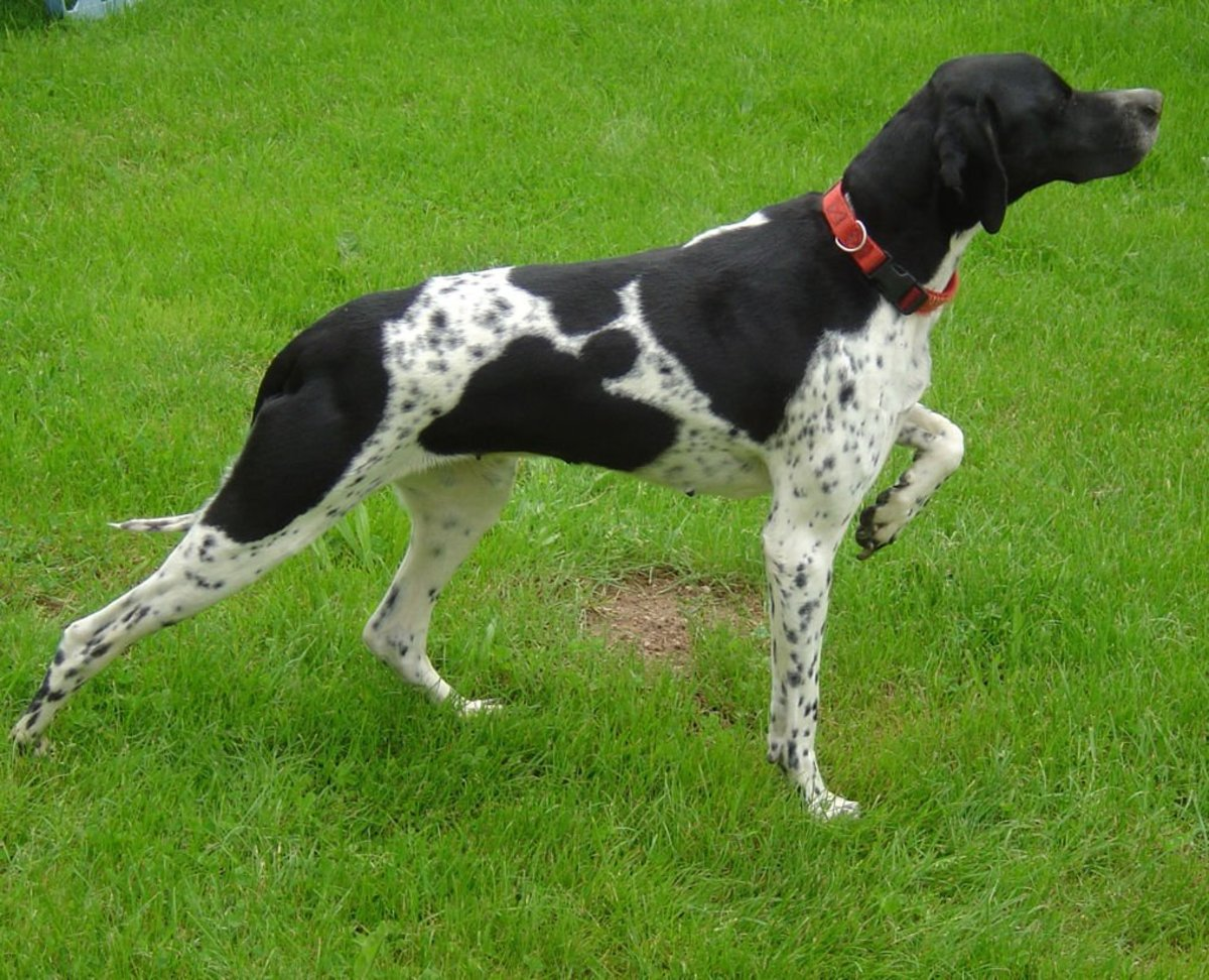 Are English Pointers Good Family Dogs
