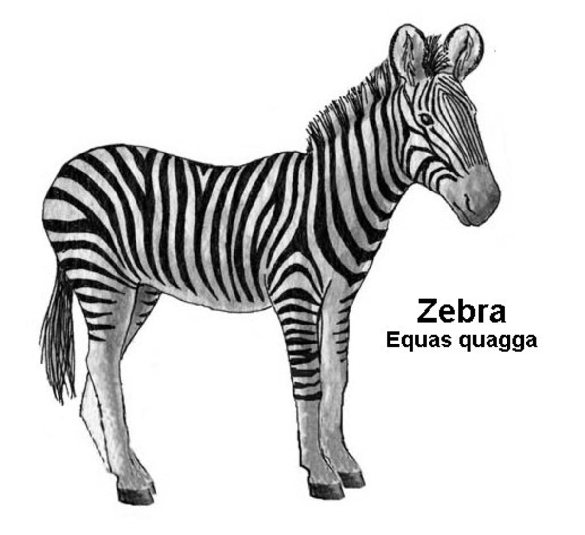 Zebra - Coloring Pages Color Sample