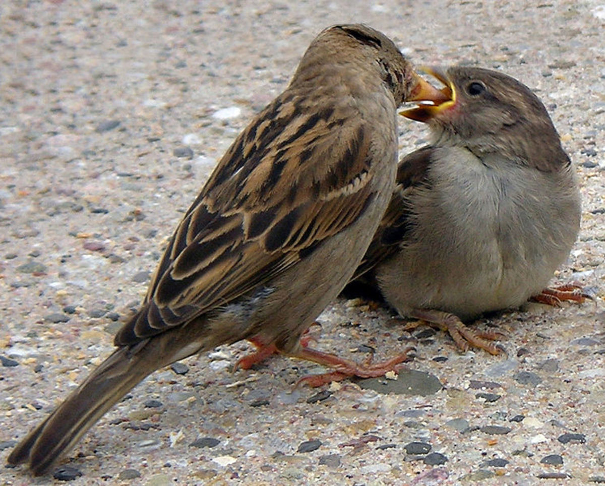 House Sparrow female feeding chick. Photo by Loz (L.B. Tettenbom)