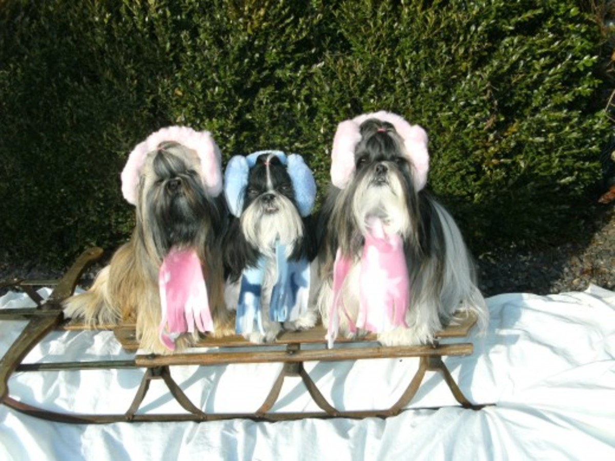 Shih Tzu Dogs on Sled