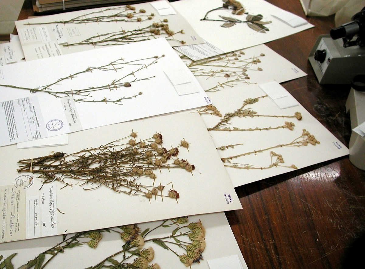 Compositae specimens from the Namibian collection.
