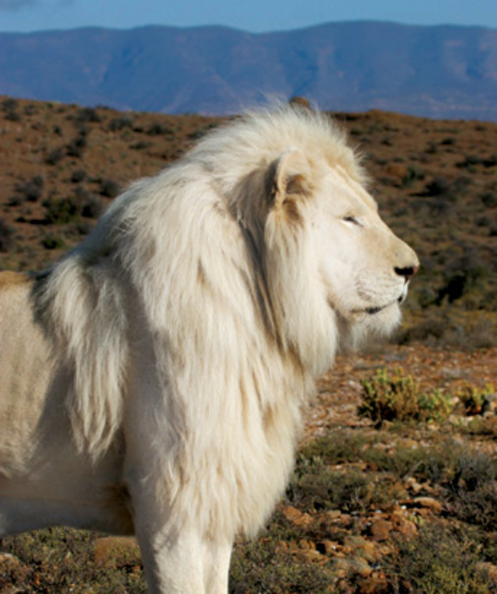 White Lions: King Of Kings