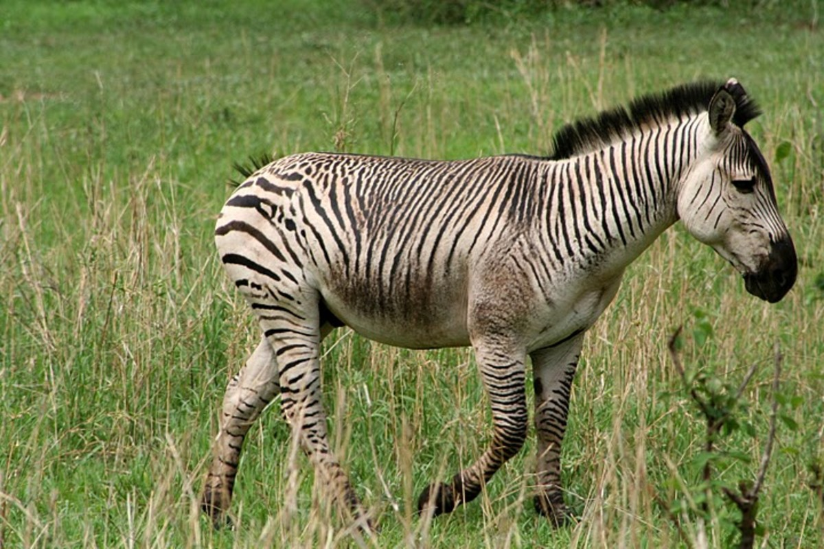 zebras-with-a-difference