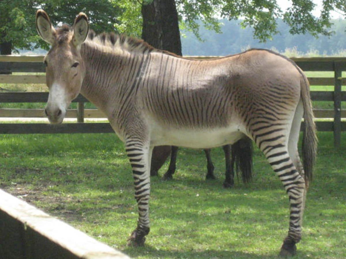 Zebra x Donkey